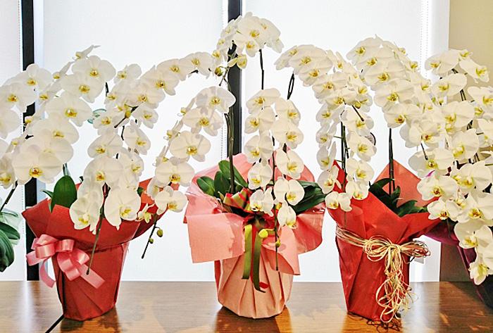 胡蝶蘭 お祝い マナー