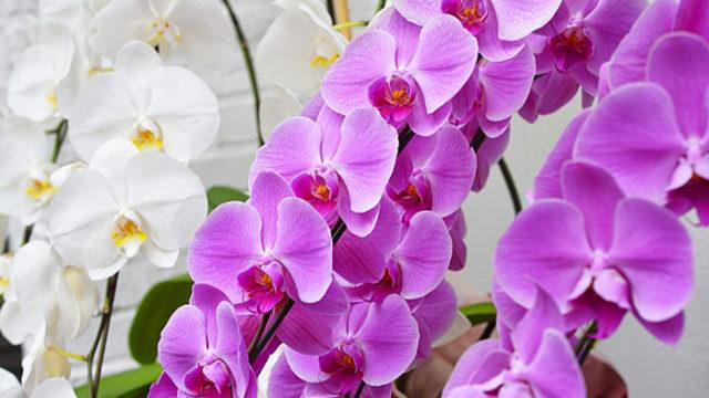 胡蝶蘭 お祝い 種類